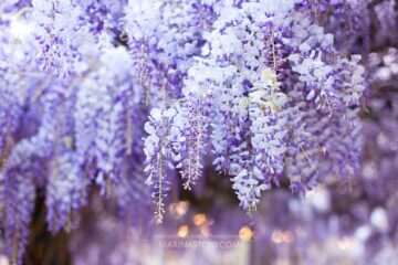 Wisteria blooming